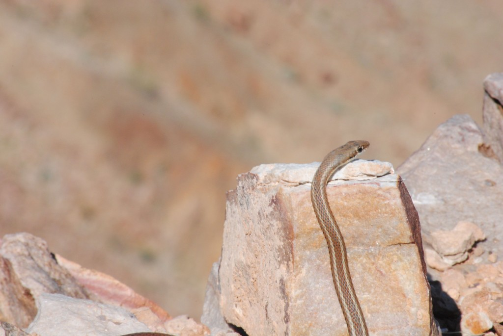 Snake at the Fish River Canyon, Namibia