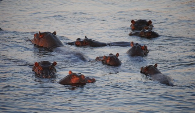 Do You Want Them to Get Killed by the Elephant?: An Abundance of Animals in Chobe National Park