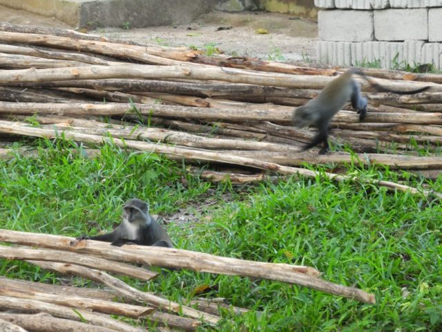 Monkeys, Jozani National Park, Zanzibar