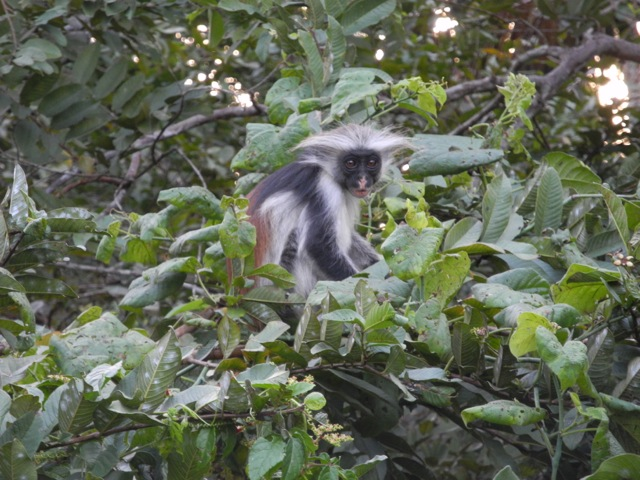 Red Colobus Monkey, Jozani National Park, Zanzibar