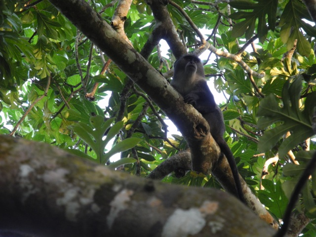 Monkey, Jozani National Park, Zanzibar