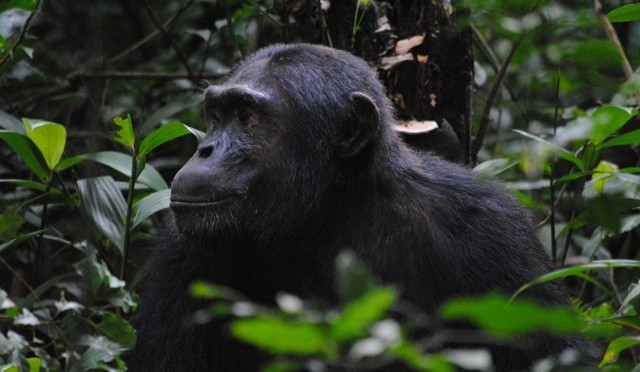 Don't Move: Chimp Trekking in Kibale National Park (With a Bonus Trip to the Top of the World)