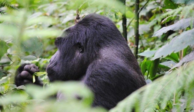 Tracking the Gorillas in Bwindi Impenetrable National Park