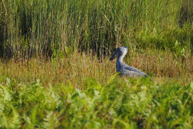 Shoebill, Mabamba Swamp Wetlands, Uganda