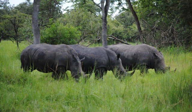 Trekking Rhinos at Ziwa Rhino Sanctuary